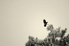 Descent (flashfix) Tags: blackandwhite ontario canada tree texture nature monochrome lines animal silhouette sepia outdoors nikon ottawa minimal negativespace crow simple raven mothernature 2015 d7000 nikond7000 55mm300mm 2015inphotos march162015