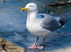 Herring Gull (Shawn Collins Photography) Tags: winter bird ice birds gulls ducks erie migration waterfowl greatblackbackedgull herringgull presqueislestatepark pisp
