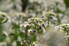 DSC_0207-2 (Kiersten Rowland) Tags: sweetalyssum lobulariamaritima flora andalucia