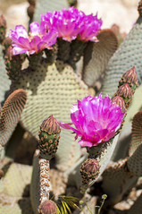 Flowering Beavertail (schelanderpugh) Tags: travel flowers cactus nature cacti nationalpark desert hiking joshuatree greatoutdoors
