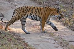 the walk of the Tiger, Pench National Park, India (cirdantravels (Fons Buts)) Tags: tiger tijger tigre pench bengaltiger pantheratigris bengaalsetijger