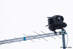 IMG_4189 (kristinjonasim) Tags: birds canon iceland whitebackground raven