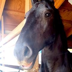 Dark Horse (iseemeseeingyou) Tags: county summer horse black smile festival dark happy farm country indiana fair amish elkhart farmlife 2014 ffa