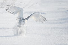 the take off (martinaschneider) Tags: morning winter snow ontario flying raptor owl snowyowl