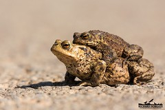 Toad In a Road (richnorgate) Tags: nature outdoors photography spring wildlife attenborough frog toad birdsinflight birdwatching frogspawn birdofprey naturephotography wildbirds wildlifephotography outdoorphotography bbcwildlife ukwildlife