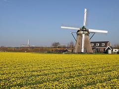 Spot the train... (cklx) Tags: daffodils noordwijkerhout narcissen 1654 hoogeveensemolen