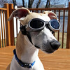 Shades {Explored} (DiamondBonz) Tags: dog pet cute goggles hound adorable whippet spanky