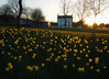 A sunset of daffodils (kenny barker) Tags: scotland spring april daffodils camelon kennybarker