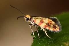 Micropterix tunbergella (121/365) (Ian Redding) Tags: uk nature fauna insect wildlife moth micro british invertebrate arthropod