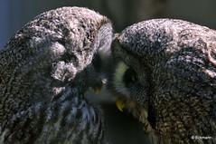 Being In Love (Nephentes Phinena ☮) Tags: wildparklüneburgerheide bartkauz greatgreyowl thingsmoneycannotbuy flilckrfriday wildpark lüneburger bird birds animals