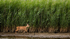 Young Roe Deer (Unintended_Keith) Tags: nature reeds westsussex wildlife young naturereserve roedeer reedbeds paghamharbour canon1dx sigma150600mms