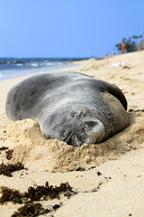 Monk Seal (chris.cournoyer) Tags: monkseal seal hawaii diamondhead oahu waikiki honolulu beach relax sleep
