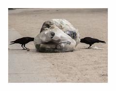 Les chres corneilles (hlne chantemerle) Tags: corbeau dchet jardinsurbains matin oiseaux parcsetjardins paris paysages photosderue sol urbain vue corneille noir black crow garbage garden streetphoto birds