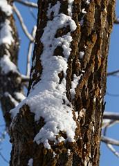 White and orange (bichane) Tags: winter snow tree lichen orange bark