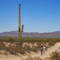 Organ Pipe Cactus National Monument - Puerto Blanco Dr -  Saguaro (adzamba) Tags: 2016 arizona cactacee cactus lukeville organpipe organpipecactusnationalmonument puertoblancodr saguaro succulente unitedstates usa carnegieagigantea gravel road dirtroad stradasterrata strada sterrato