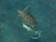 IMG_3741 (adrienweckel) Tags: adrienweckel cheloniamydas echeneisnaucrates poissons rémoracommun rémorarayé tortueverte