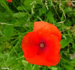 Gentil coquelicot, mesdames... (Kay Harpa) Tags: paris fleur redflower coquelicot entredeux photokay