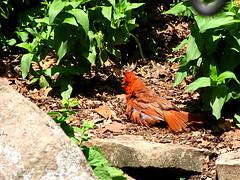 Sunbathing Cardinal (thatSandygirl) Tags: park ohio red summer orange sun male bird nature cardinal outdoor july fluffy ground arboretum newark grumpy dawesarboretum canonpowershotsx10is