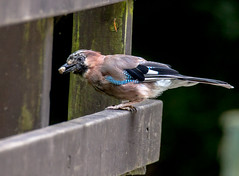 I think this is mine! (the tamron tog) Tags: jay bird magpie thief countrypark clever cackle flight canon 5dmk2 tamron 150600mm britain colorful