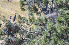 Heron at Entiat (Frank O Cone) Tags: heron nests youngheron