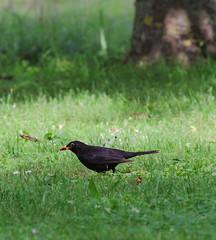 Blackbird eating a cherry (stanzebla) Tags: birds turdusmerula vgel blackbird merle vogel oiseaux schlossschwetzingen