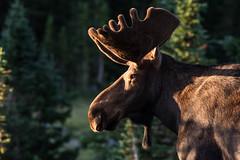 Bull Moose (grady_31) Tags: