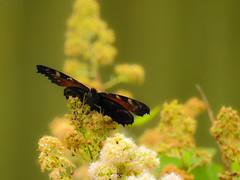 (Nymphalidae) Inachis io, Pfgelga / Peacock butterfly (holgeric77) Tags: karlstad vrmlandsln sweden se nymphalidae inachisio