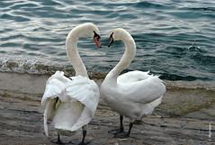 Love Story (welenna) Tags: swan swans schwan schwne bird vgel