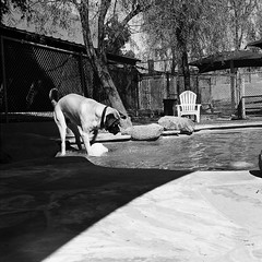 frankie vs. bawl (_in_dreamss) Tags: blackandwhite film ilford delta400 night day yashica mat124 portrait shadow bw 6x6 mediumformat 120mm filmphotography streetphotography bones dogs puppy boston terrier work checker color starwars event book man lights stuffing backyard outside nature phoenix arizona azdesert westcoast dry heat indoors colorless greyscale grey bars fence parkinglot surprise old town nightlife shutter cable tripod pool swimming summer beach ball water park mastiff lawn chair astro turf fetch jowls big boy play time splish splash canon shallow