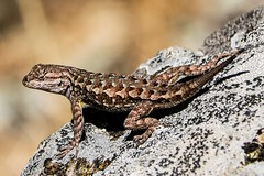 Western Fence Lizard (Brown Acres Mark) Tags: reptile jackson county oregon emigrant lake western fence