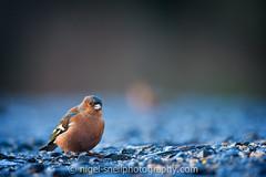 DSC_0624-2 (nigelsnell) Tags: birds cairnwood countydown bird chaffinchfringillacoelebs ononesoftware photo10