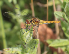 Likely ID: Ruddy Darter (Sympetrum sanguineum) (pete Thanks for 5 Million Views) Tags: likely id ruddy darter sympetrum sanguineum hwcp colchester