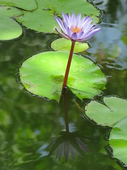 lily reflection (oneroadlucky) Tags: nature plant flower lotus waterlily purple reflection
