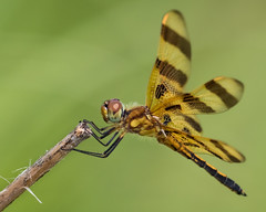 Halloween Pennant (7-24-16) (ryan11-17) Tags: dragonfly halloweenpennant littleriverwetlands arrowheadprairie insect