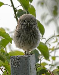 junger Steinkauz (normen.nikon) Tags: kauz owl natur wildlife vogel