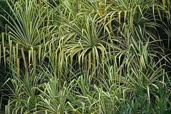 Striped Screwpine leaves abound! (jungle mama) Tags: screwpine green stripe fairchildtropicalbotanicgarden fairchildgarden pandanus cone serrated madagascarscrewpine pandanusutilis repetition leaves proproot coth5