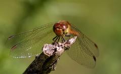 _MG_1881 (jjays7155) Tags: eos7d cadnamcommon ef70200f4 dragonfly