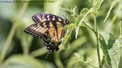 Eastern Tiger Swallowtail (P7240802) (Michael.Lee.Pics.NYC) Tags: newyork nybg newyorkbotanicalgarden easterntigerswallowtail butterfly bokeh olympus em5 markii mkii lumix100300mm