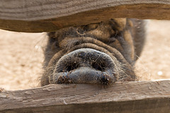 groin (pertinal) Tags: groin cochon poil nez porc ferme jambon pig farm animal snout