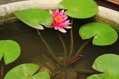 IMG_9217 (猜测) Tags: 莲花 植物