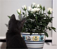IMG_2547 (murkla_la) Tags: cat russianblue moussie gray graycat