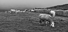 The Cows of Moher (Box of Badgers) Tags: europe ireland cliffsofmoher cows bw blackandwhite blackwhite countyclare burren