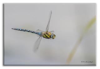 Migrant Hawker Dragonfly in flight (Aeshna mixta) m [Explored]