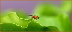 ~*~ (Jutta Innetsberger) Tags: k10d pentax pentaxk10d macro makro manuell faulfliegen lauxaniidae polierfliegen fliegen insekten altglas tamronsp90mmf25 tamron