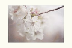 Romantic novel (Krasne oci) Tags: spring flowers flower whiteflowers branch springtime romance classic prettyflowers flickr evabartos beautifulphoto softness softcolors pastel photographicart photographicpoetry artphotography texturedphoto textured