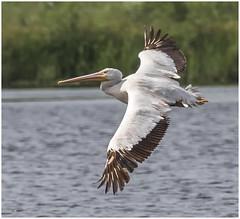 American White Pelican ( Top-Side Capture ) (billkominsky ) Tags: naturethroughthelens