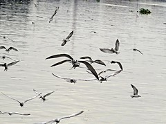 reflections on flight (DOLCEVITALUX) Tags: philippineseagulls seagulls canonpowershotsx50hs river pasigriver philippines