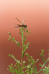 A Fairy Tale (Note-ables by Lynn) Tags: dragonflies insects nature animals fairytale