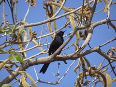 DSC06421 (familiapratta) Tags: sony dschx100v hx100v iso100 natureza pssaro pssaros aves nature bird birds montesio montesiomg brasil