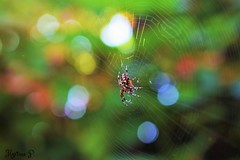 Have a beautiful day! (martinap.1) Tags: cross spider spinne nikon d3300 bokeh nature natur